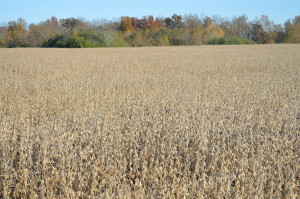 My soybeans