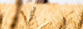 North Dakota winter wheat