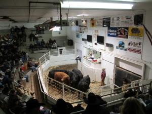Bull showcase