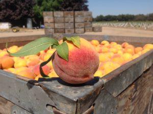 Hammerstrom Peach