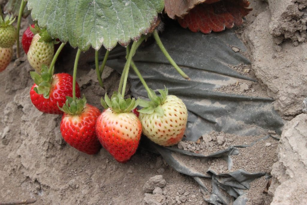 Strawberries are not GMO