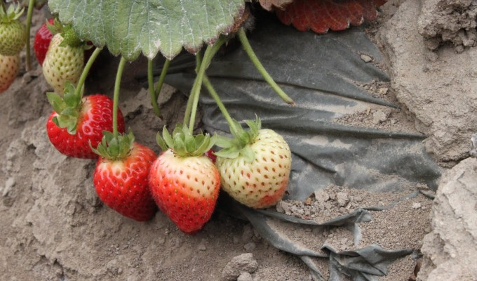 Strawberries Are Not GMO And How The Skimm Got It Wrong