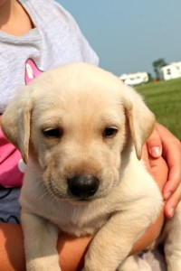 Five week old Yellow Lab
