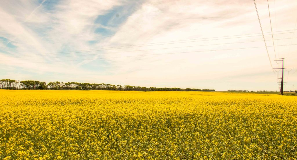 Blooming canola brightens summer fields. Canola, crushed for canola oil, is a GMO crop. North Dakota leads the U.S in canola production.